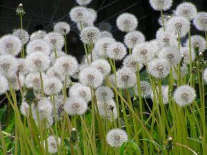 800px-タンポポの種(綿毛)北海道6200416